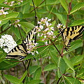 Western Tiger Swallowtail Butterflies by Ben Upham III
