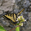 Western Tiger Swallowtail Butterfly 2 by Ben Upham III