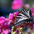 Western Tiger Swallowtail Butterfly On Geranium by Sharon Talson