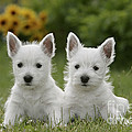 Westie Puppies by Rolf Kopfle