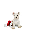 Westie Puppy And Santa Hat by Natalie Kinnear