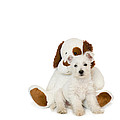 Westie Puppy And Teddy Bear by Natalie Kinnear