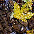 Wet Autumn Leaf On Stones by Ivan Slosar