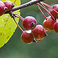 Wet Crab Apples by Nick Kirby
