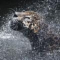 Wet Jaguar  by Shoal Hollingsworth