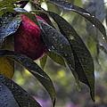 Wet Peach by John Dauer