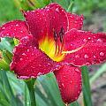 Wet Red Razzmatazz Daylily 1 by Lynne Miller