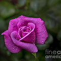 Wet Rose by Michael Waters