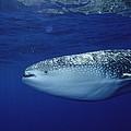 Whale Shark Portrait Cocos Isl Costa by Flip Nicklin