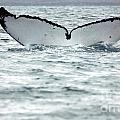Whale Tail  by Cindy Murphy - NightVisions