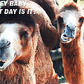 Camel What Day Is It? by Belinda Lee