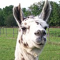 Rare Polka Dot Llama Pogo by Belinda Lee