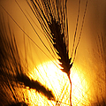 Wheat At Sunset Silhouette by Tim Gainey