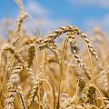 Wheat by Cheryl Baxter