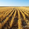 Wheat Field by Juli Scalzi
