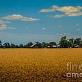 Wheat Field by Mitch Shindelbower