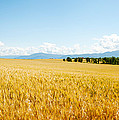 Wheat Field Near D8, Brunet, Plateau De by Panoramic Images
