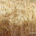Wheat Field  by Oren Shalev
