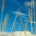 Wheat In The Sky by Cynthia Guinn