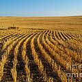 Wheat Rows by Juli Scalzi