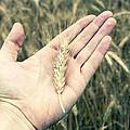 Wheat by Samir Hanusa