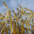 Wheat Standing Tall by Ron Pate