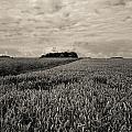 Wheatfields by Matthew Pace