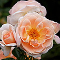 Wheeping Rose by Christiane Schulze Art And Photography