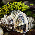 Whelk I by Marco Oliveira