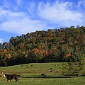 When The Cows Come Home-alabama by Mountains to the Sea Photo