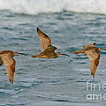 Whimbrel Trio In Flight by Anthony Mercieca