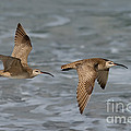 Whimbrels Flying Above Beach by Anthony Mercieca