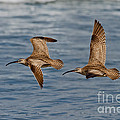 Whimbrels Flying Close by Anthony Mercieca