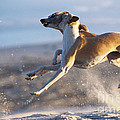 Whippet Dogs Fighting by Chris Harvey
