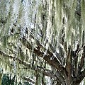 Whispering Oaks by Zina Stromberg