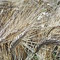 Whispering Wheat by T Nuernberg-Benesh