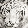 White Tiger by Vincent Bonafede
