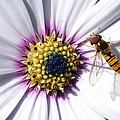 White African Daisy Marmalade Fly by Scott Lyons