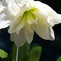 White Amarillys by Christiane Schulze Art And Photography