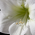 White Amaryllis by Adam Romanowicz