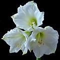 White Amaryllis by Terence Davis