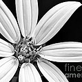 White And Black Flower Close Up by Sabrina L Ryan