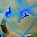 White And Blue Orchid by Dora Sofia Caputo Photographic Design and Fine Art