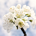 White And Bright - Beautiful Blossoms by Matthias Hauser