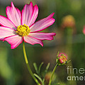 White And Magenta Cosmos by Jack Schultz