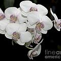 White And Pale Pink Phalaenopsis   9920 by Terri Winkler