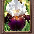 White And Purple Iris by Mark Szep