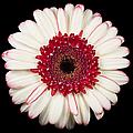 White And Red Gerbera Daisy by Adam Romanowicz