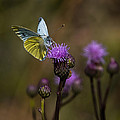 White And Yellow Butterfly On Thistl by Leif Sohlman