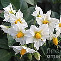 Garden Blossoms White And Yellow Garden Blossoms by Conni Schaftenaar